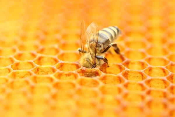 abeille qui stocke le miel dans les alvéoles